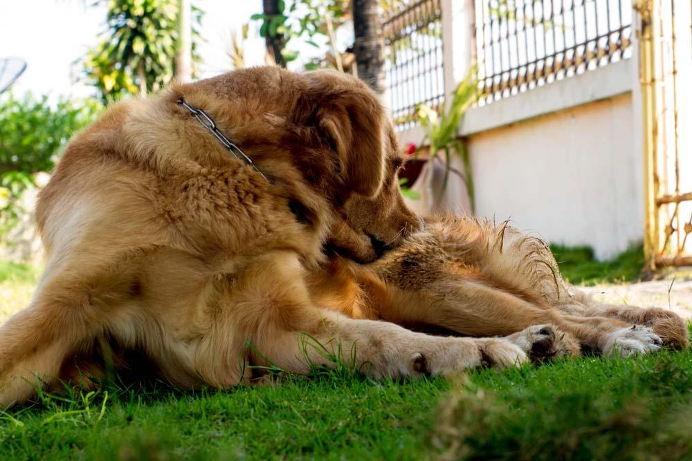 A golden retriever biting at his leg
