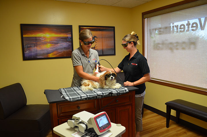 Two team members performing laser therapy on a small dog